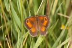 Gatekeeper (Pyronia tithonus) butterfly