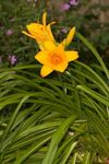 Hemerocallis plant with yellow flowers