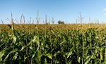 Field of maize, Wycomb