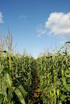 Footpath through maize field, Wycomb