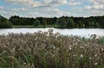 Seeding thistles, Melton Country Park