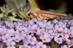 Large Yellow Underwing moth (Noctua pronuba)