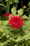 Dahlia plant with red flower