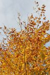 Young beech in autumn