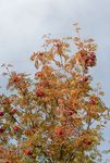 Rowan tree in autumn