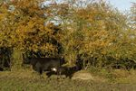 Cow and hedge in autumn