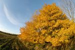 Bright yellow autumnal tree