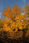 Autumnal yellow tree