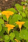 Nasturtium 'Tom Thumb' (Tropaeolum majus)