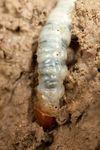 Swift Moth (Hepialidae) caterpillar
