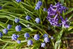 Common Hyacinth (Hyacinthus orientalis) and Grape Hyacinth (Muscari sp.)
