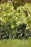 Helleborus foetidus in flower
