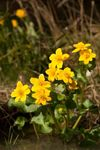 Flowering Kingcup (Caltha palustris)
