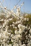 Blossoming Blackthorn