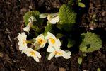 Primrose (Primula vulgaris) flowers