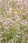 Perennial Sow thistle and Creeping Thistles