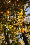 Norway Maple leaves in autumn
