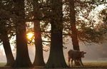 Bullock and trees at sunset