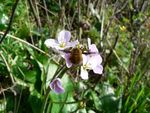 Bombylius major feeding on Cardamine pratensis