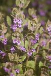 Glechoma hederacea (Ground Ivy)