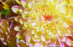 Chrysanthemum flower [Multispectral]