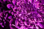 Chrysanthemum flower [UV]
