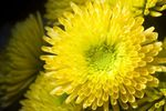 Quill Chrysanthemum flower