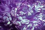 Chrysanthemum flower [UV IR]