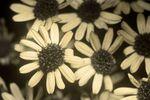 Silver Ragwort (Jacobaea maritima) flowers [UV]