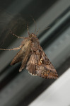 Silver Y Moth with wings up