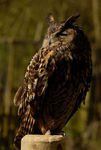 Eagle Owl (Bubo sp.)