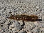 Drinker Moth (Euthrix potatoria) Caterpillar