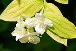 Golden Mock-orange (Philadelphus coronarius aureus) flowers