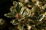 Ilex aquifolium 'Silver Queen' European Holly