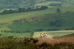 Sheep on the Long Mynd