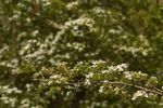 Common Hawthorn (Crataegus monogyna)