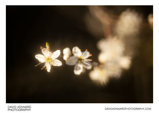 Photo of Blackthorn Blossom taken with 100mm lens and Pictrol Pictorial Control Soft focus device set to around 7