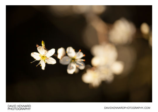 Photo of Blackthorn Blossom taken without Pictrol