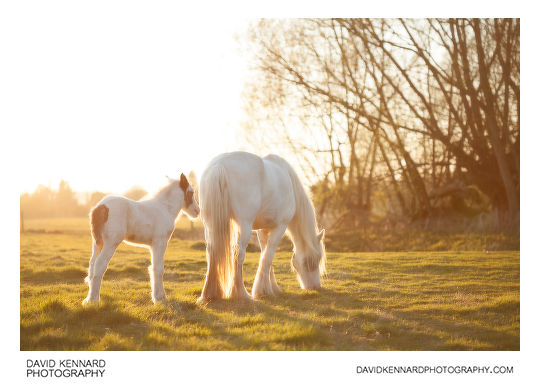 Gypsy-cob horse foal and its mother, taken without Pictrol