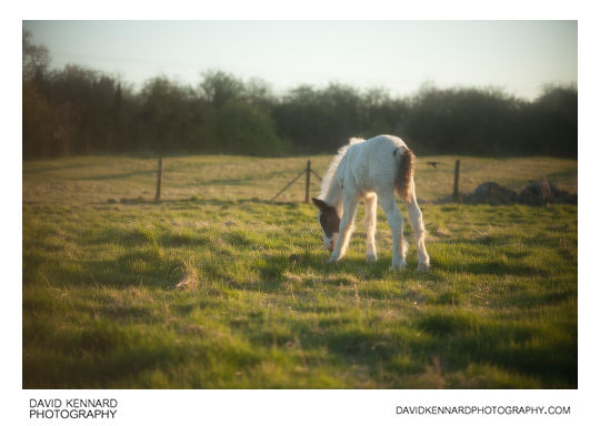 Photo of a Gypsy-cob horse foal taken with Pictrol soft focus filter