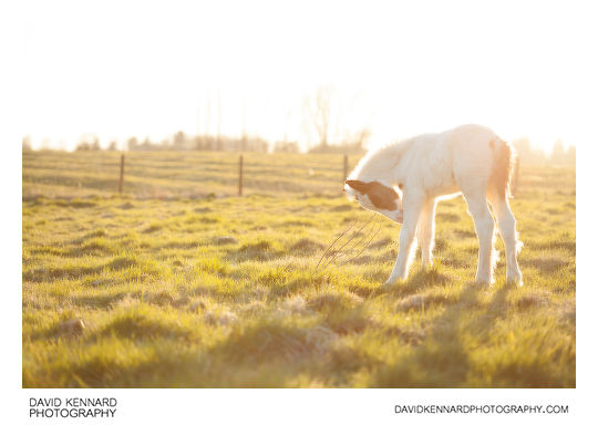 Photo of a Gypsy-cob horse foal, shot against the light, without Pictrol filter