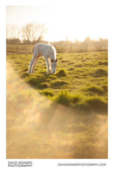 Photo of a Gypsy-cob horse foal taken with Pictrol soft focus filter set to its minimum setting (1)