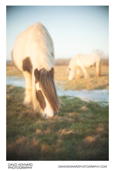 Photo of a Gypsy-cob horse taken using Pictrol Pictorial Control Soft focus device set to around 7, with Olympus 50mm f/1.8 lens on full frame camera