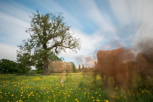 Long exposure photo of curious heifers and a tree, taken with Zomei 6 stop and XCSource 10 stop ND filters