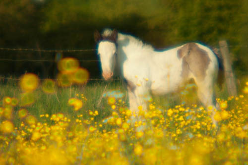 Foal and buttercups