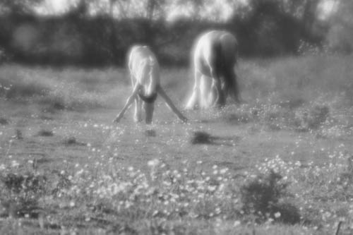 Foal eating grass
