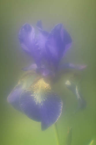 Iris flower taken with +10 diopter lens reversed as taking lens