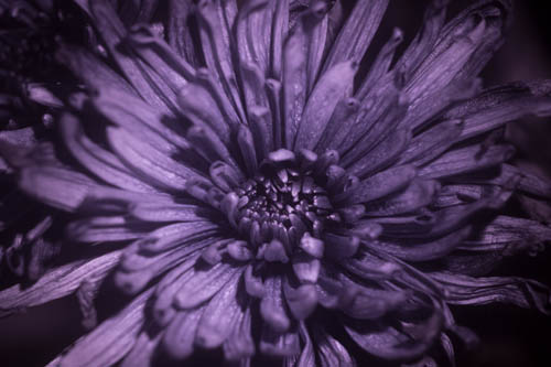 Reflected UV photo of a Chrysanthemum flower lit using Ultrafire G60 3w 365nm UV torch with 330WB70 UV pass filter