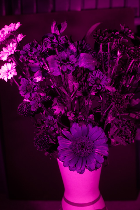 UV photograph of a vase of flowers taken with the Fuji 27mm f/2.8 lens