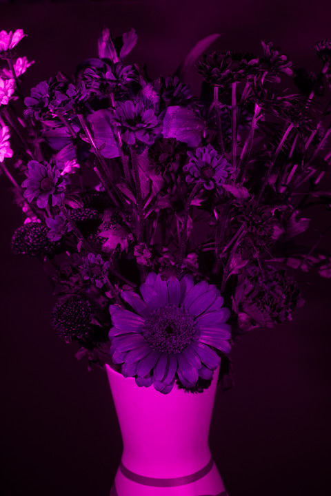 UV photograph of a vase of flowers taken with the Fuji 35mm f/1.4 lens